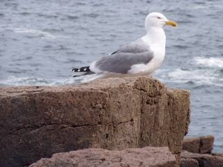 Patient Gull