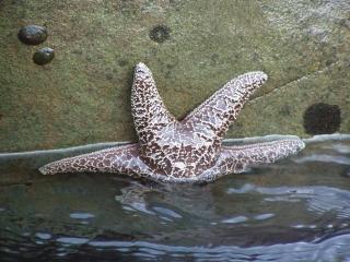 First Starfish