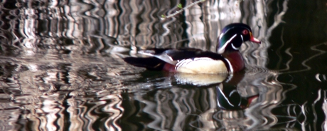 Psychedelic Wood Duck