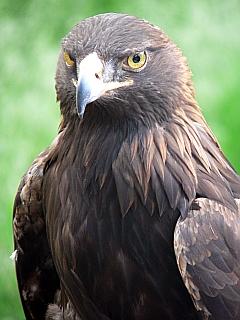 Zion Golden Eagle
